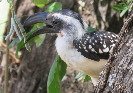 Jackson's Hornbill Female