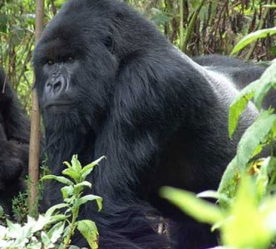 3-Day Gorilla Trekking Safari in Uganda