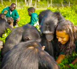 Befriend a Chimpanzee in a Day