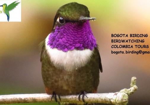 Purple Throated Woodstar (calliphlox Mitchellii)