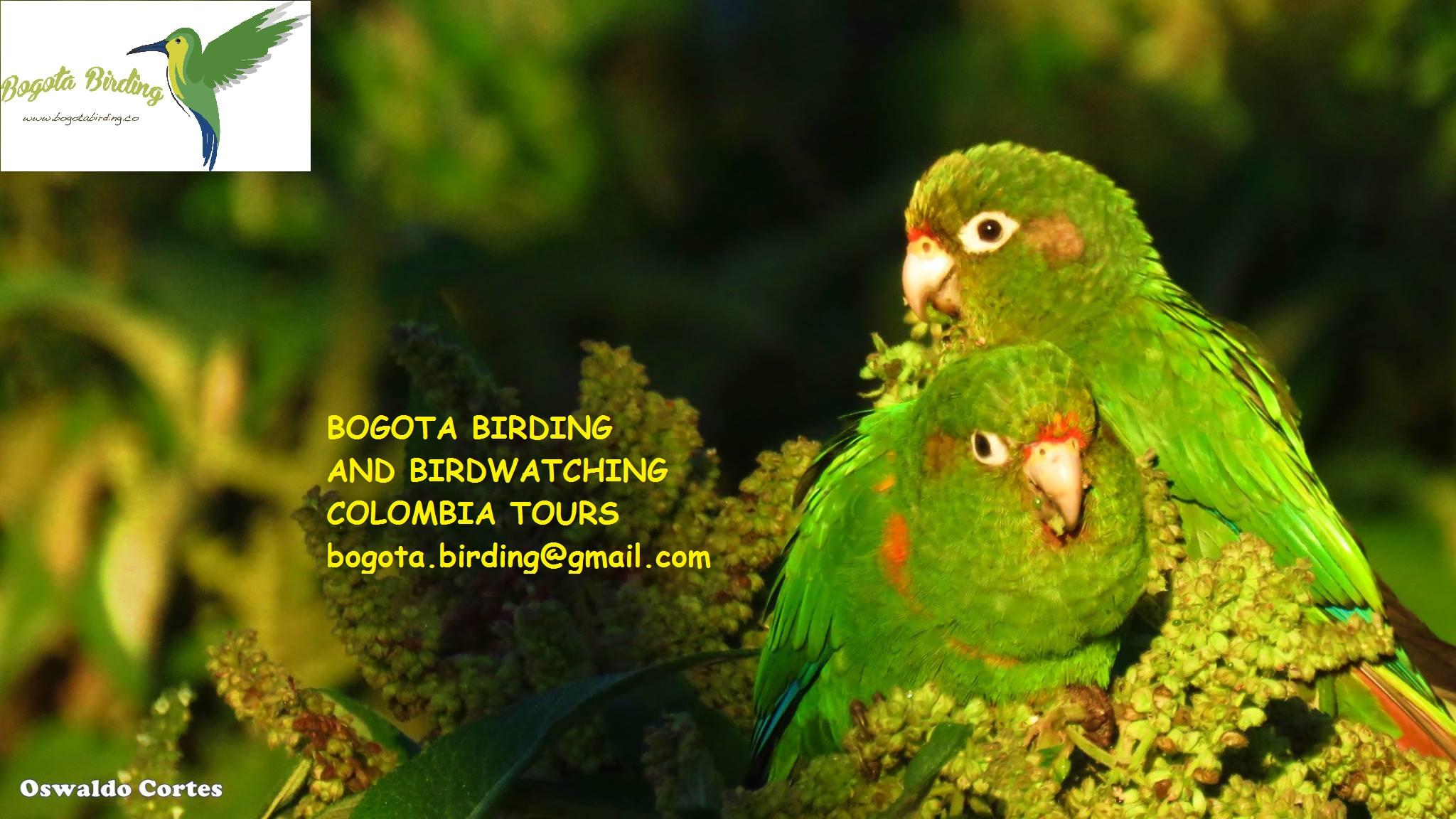 Santa Marta Parakeet (pyrrhura Viridicata)