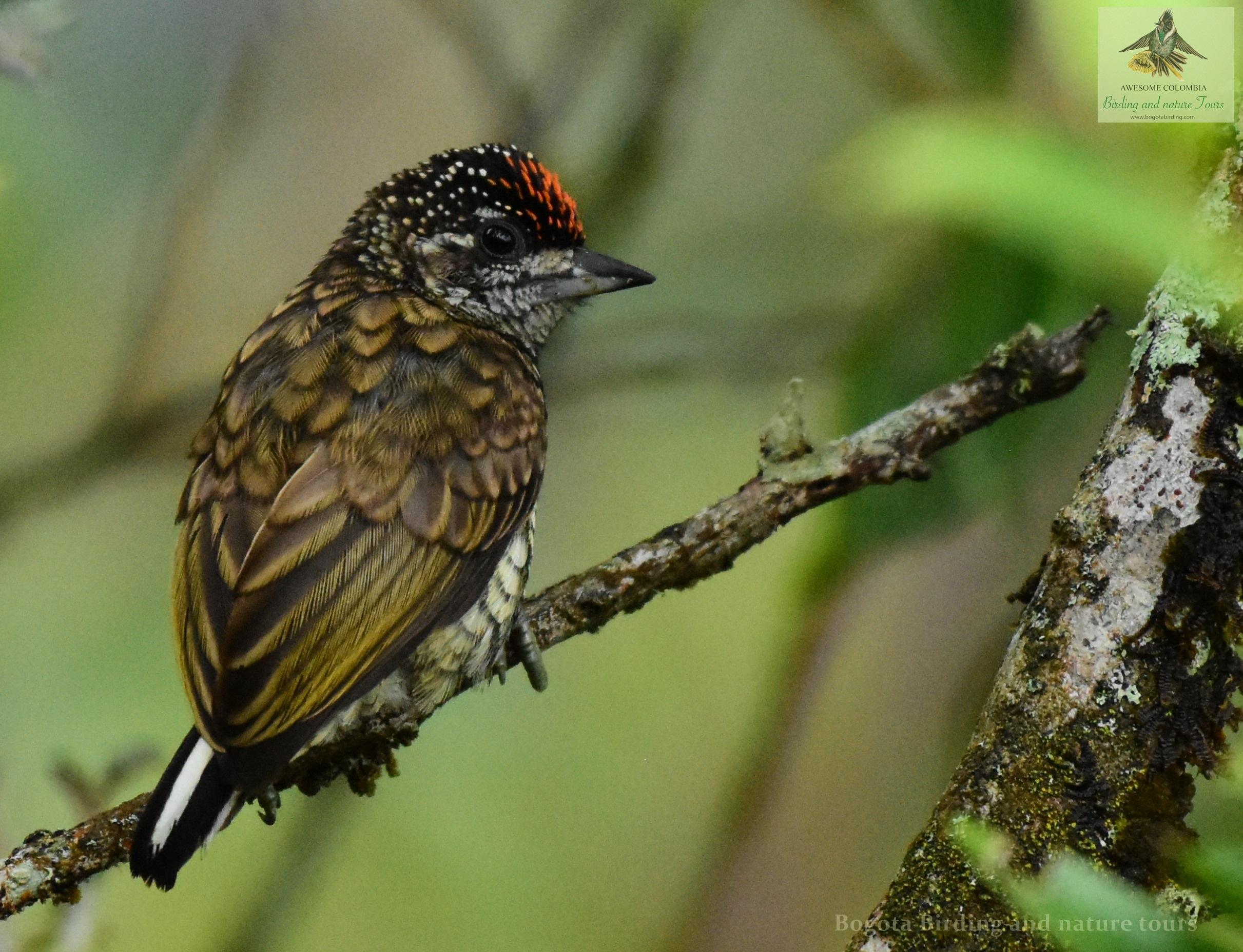 Scaled Piculet Picumnus Squamulatus