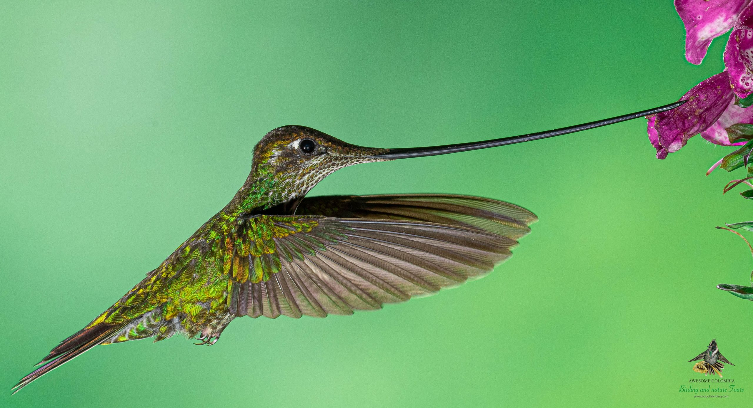 Sword Billed Hummingbird Ensifera Ensifera