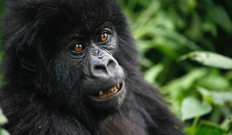 Uganda Gorilla 7