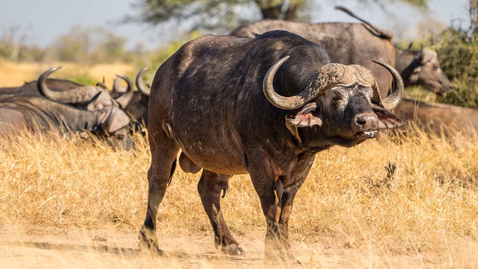 Cape Buffalo In South Africa In The Kruger Park.