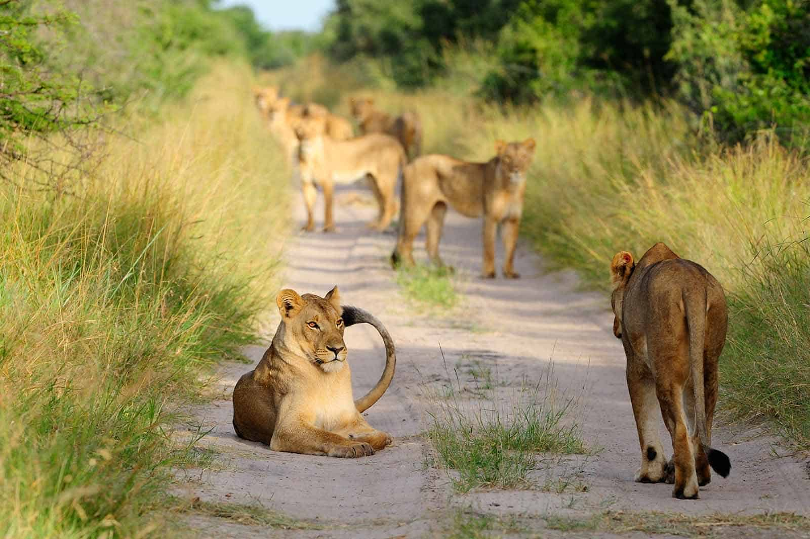 Pride Of Lions On The Road