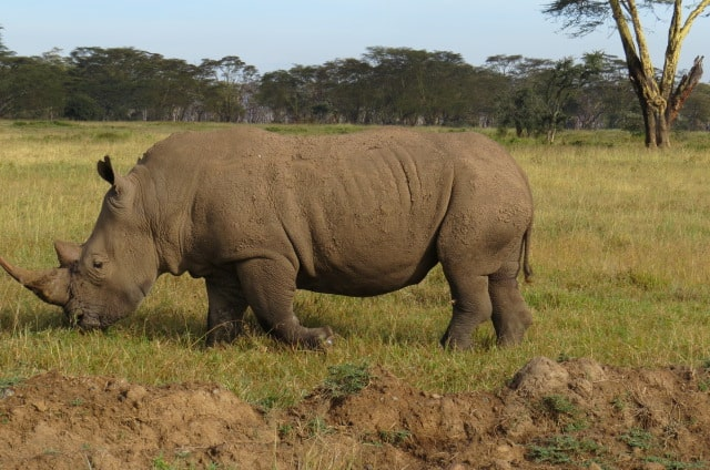Southern White Rhino|Wildlife in Kenya