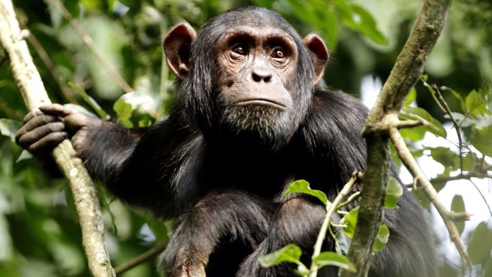 Wild Chimp4