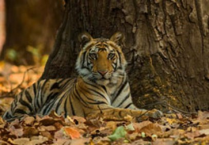 Tiger Jungles Of Central India