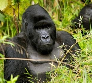 Uganda Gorilla Express via Kigali