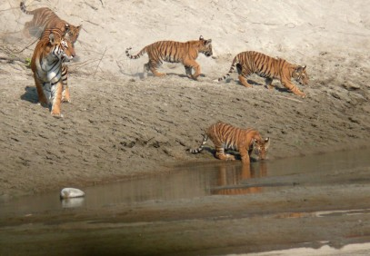 Tiger Safari in Royal Bardia National Park