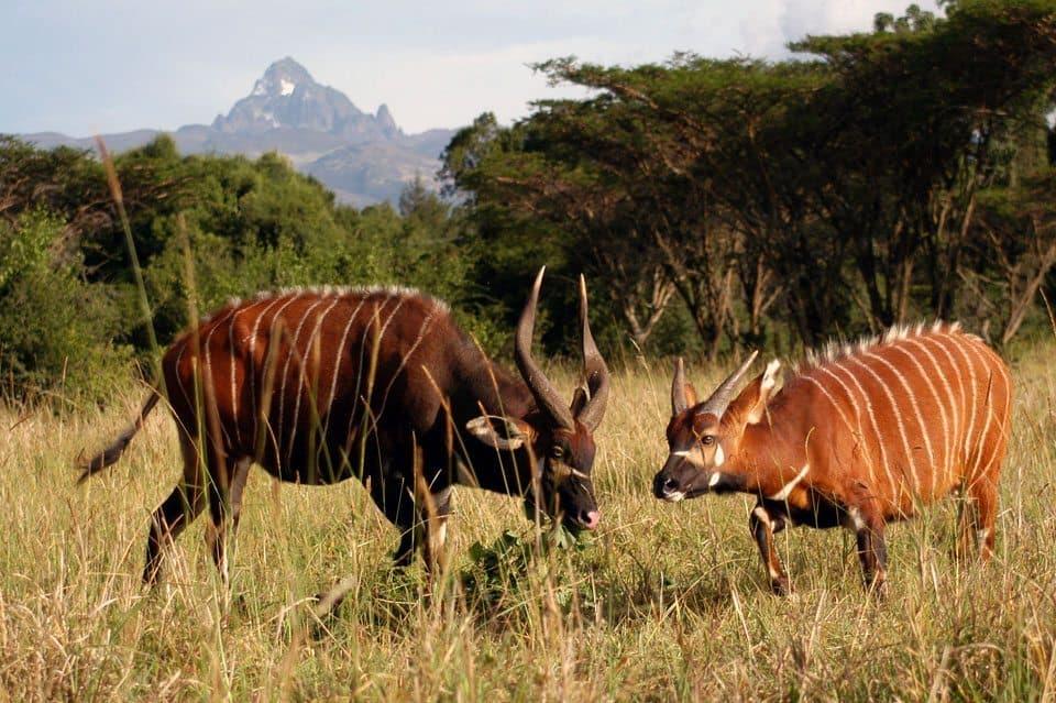 Bongo At Mount Kenya 3