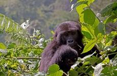 8 Days-Utimate Uganda Primates Safari