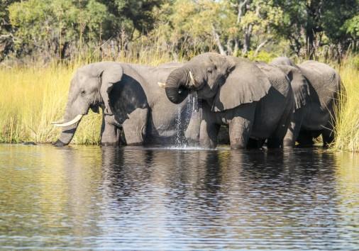Camp Moremi Elephant