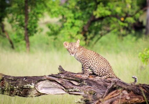 Camp Moremi Leopard Cub