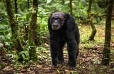 6 Days-Uganda Gorilla & Chimpanzee Safari