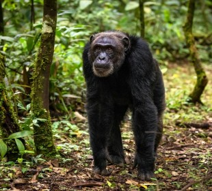 6 Days-Uganda Gorilla & Chimpanzee Safari
