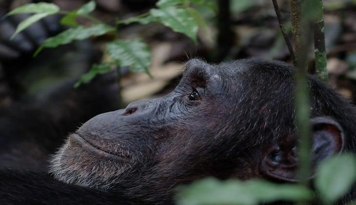 Chimpanzee Kibale 1 730x420