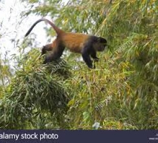 1 Day Golden Monkey Trekking