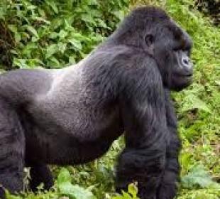 1 Day Gorilla Trekking