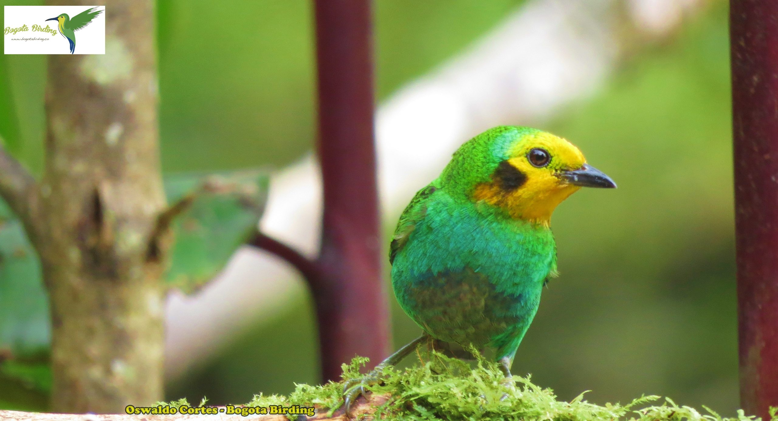Endemic, Multicoloured Tanager, Chlorochrysa Nitidissima, Central Andes (finca La Alejandria)