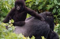 5-Day Gorilla & Chimpanzee Trekking Safari