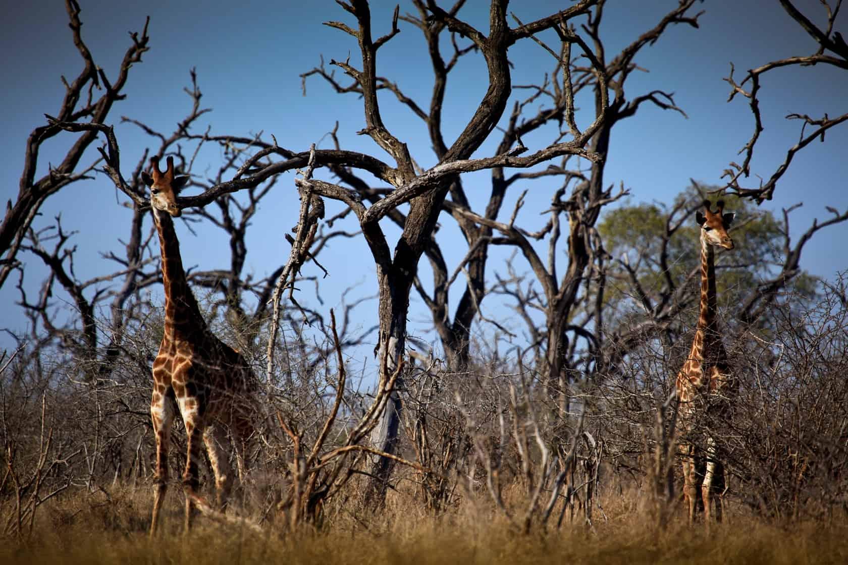 Fauna, Flora And Facilities At Hlane Royal National Park, Swaziland