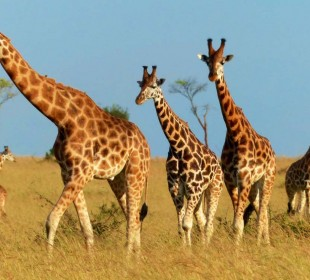 Murchison Falls National Park Safari