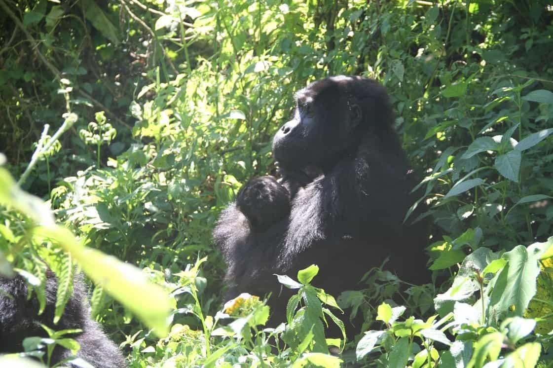 Gorilla 6 Day Rwa Ug