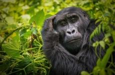 Primates in Uganda Safari