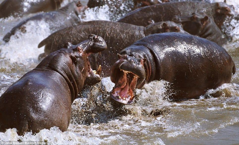 Hippo Katavi