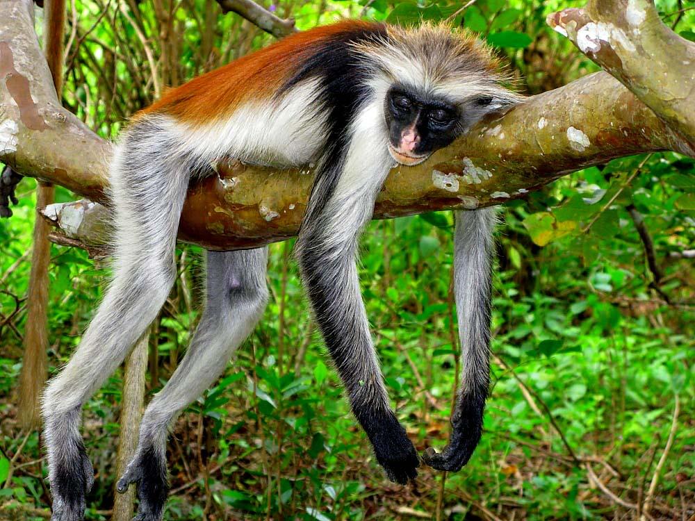 Jozani Jungle (3)