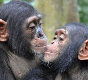Chimp Tracking in Kibale Safari