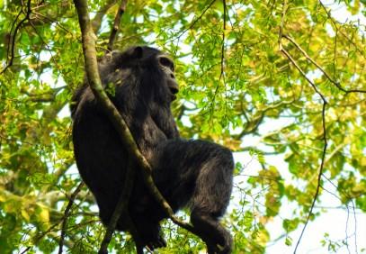 Chimps, Gorillas & Lions Safari