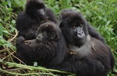 Trekking Mountain Gorillas, Chimpanzees and Golden Monkeys