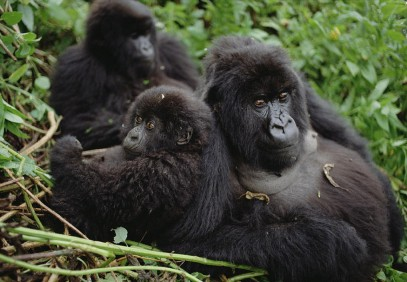 Trekking Mountain Gorillas, Chimpanzees and Golden Monkeys