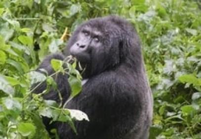 Beautiful World of the Ugandan Mountain Gorillas