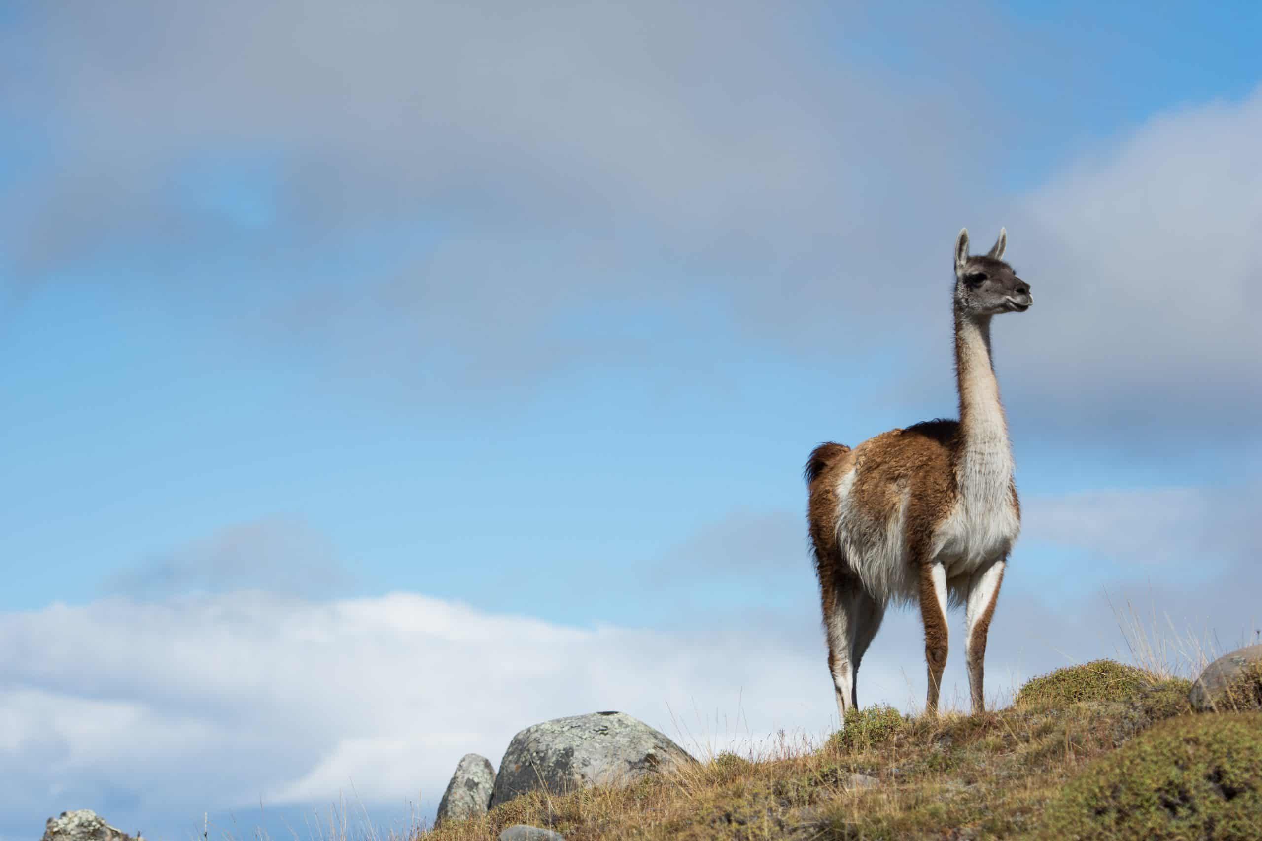 Swoop Charlie Recce Guanaco Torres Del Paine Wildlife 6