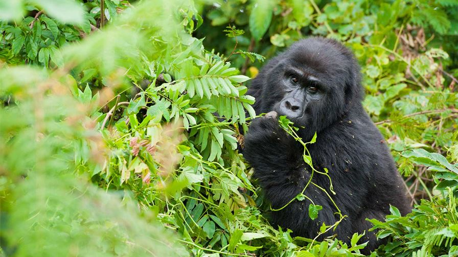 Uganda Female Mountain Gorilla Feeding Albie Venter