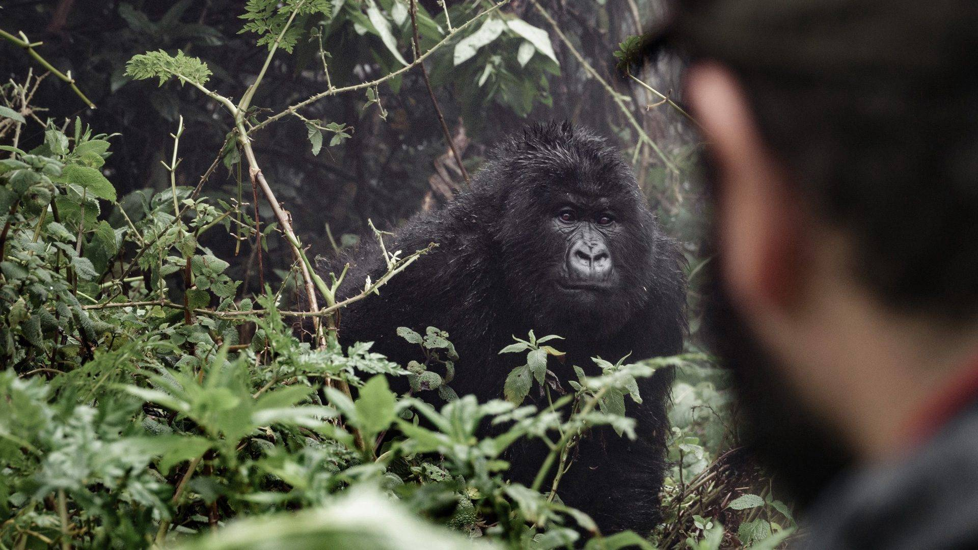 Uganda Gorilla Safari Trip