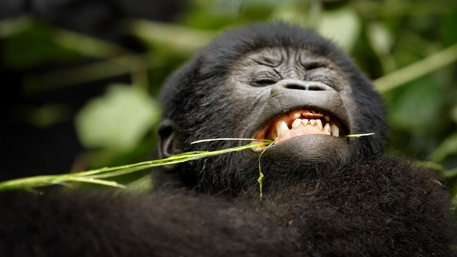 Uganda Mountain Gorilla Eating