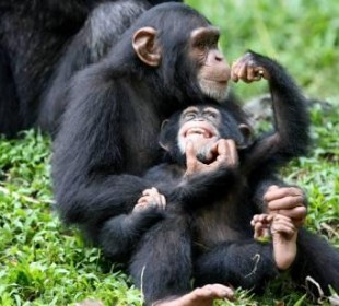 Chimpanzee Trekking and Game Drives