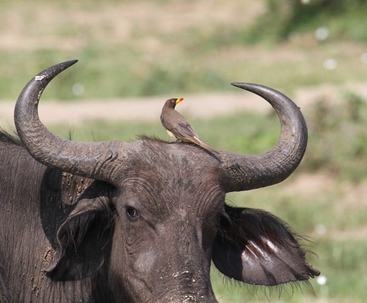 African Buffallo With Yellow Billed Oxpecker