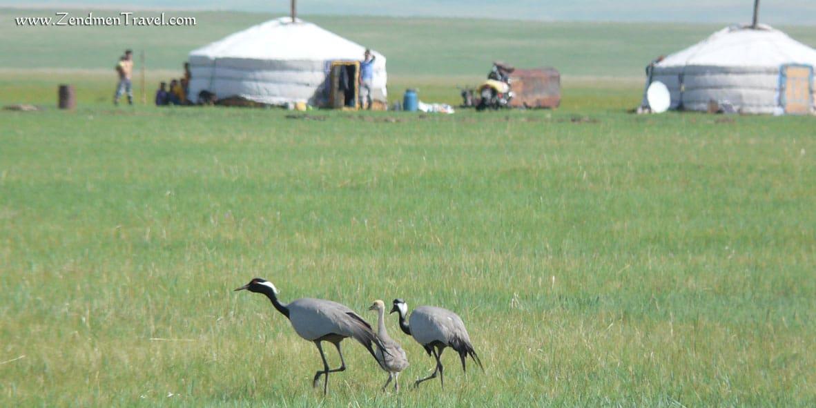 Demoiselle Crane Eastern Mongolia