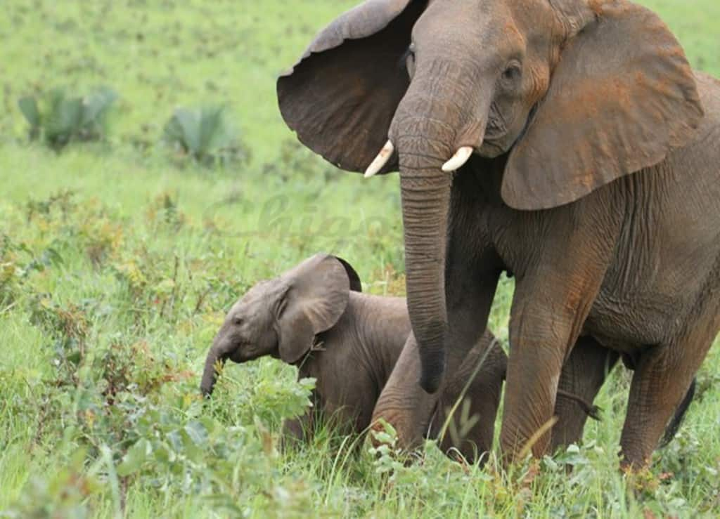 Elephant Matriach And Calf (1)