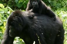7 Days Chimps & Gorillas Safari