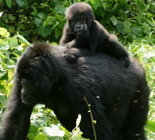 7 Days Chimps & Gorillas Safari