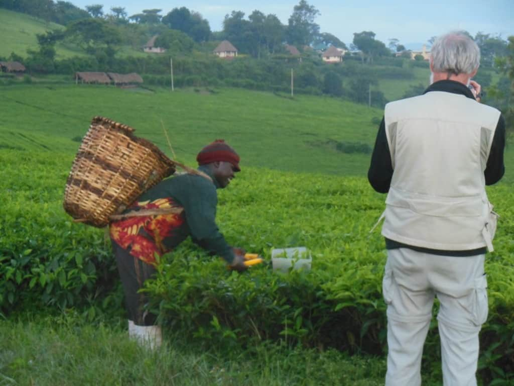 Harvesting Tea At The Edge Of Kibale Forest