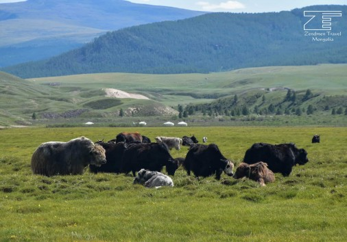 Yak In Khangai Region