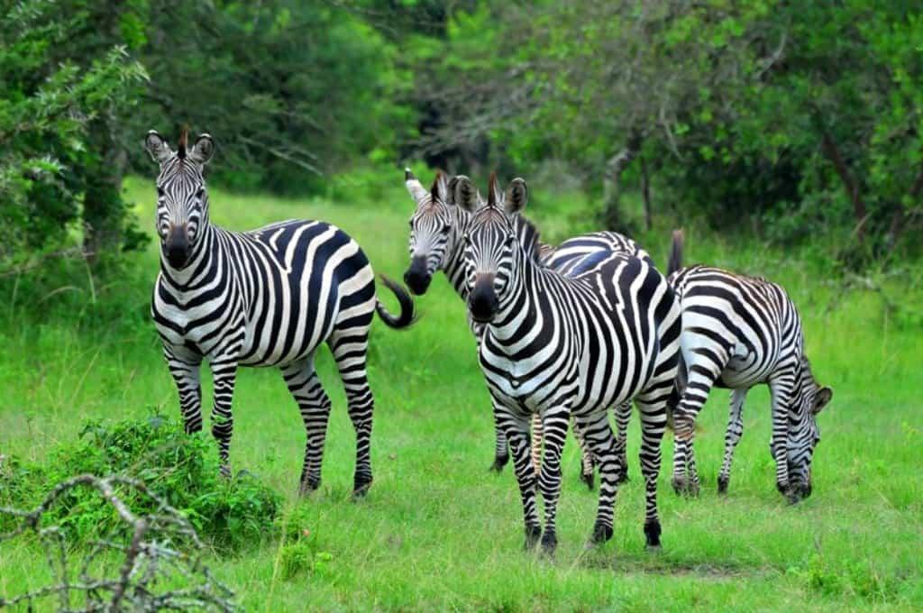 Lake Mburo Zebras